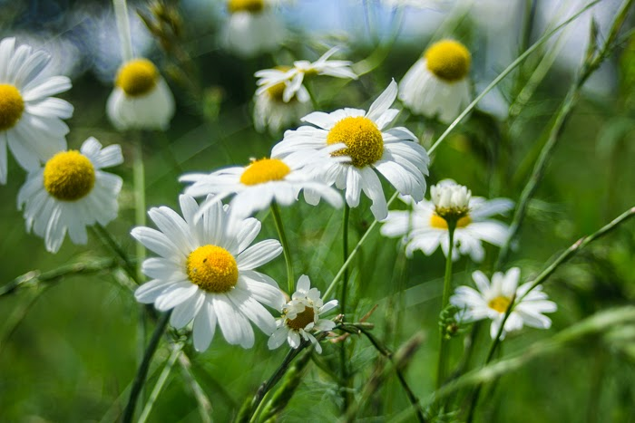 chamomile field ukraine village countryside sunlight summer flower
