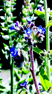 https://fr.wikipedia.org/wiki/Anchusa