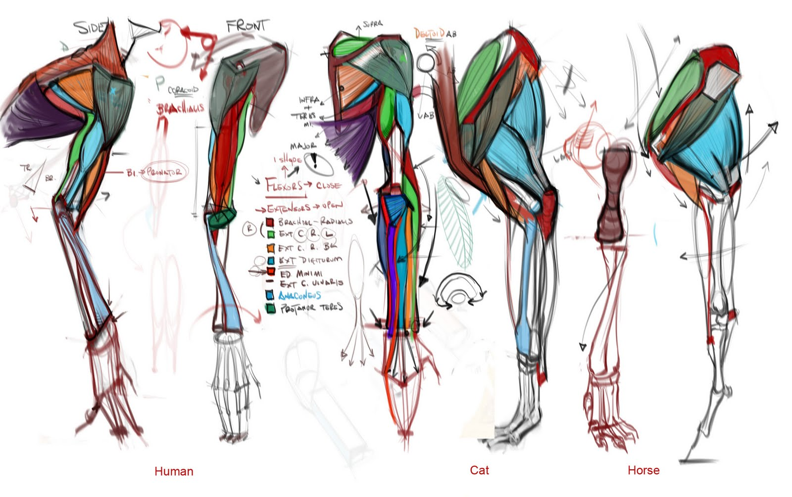 Figuredrawingfo News Comparative Anatomy Lecture