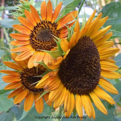 An Impressive Warm Sunflower Blossom Threesome