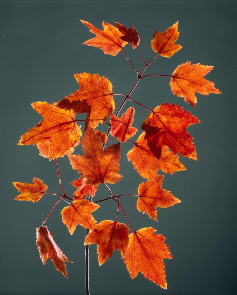 Blaschka Glass Models of flowers