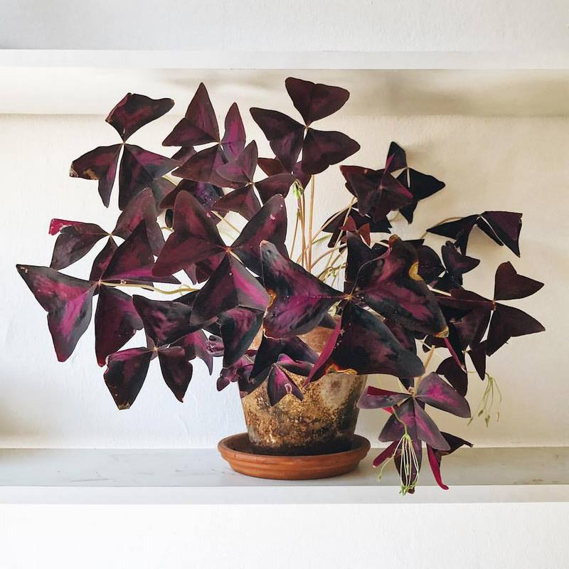 Hojas purpura de oxalis triangularis en maceta de barro