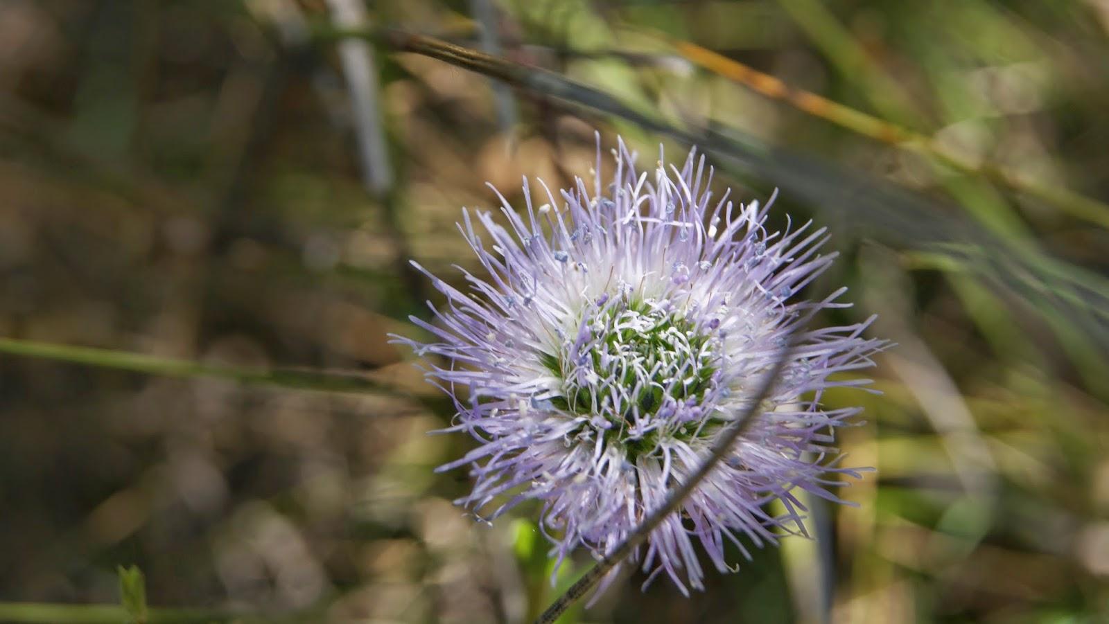 Flor blava per Teresa Grau Ros