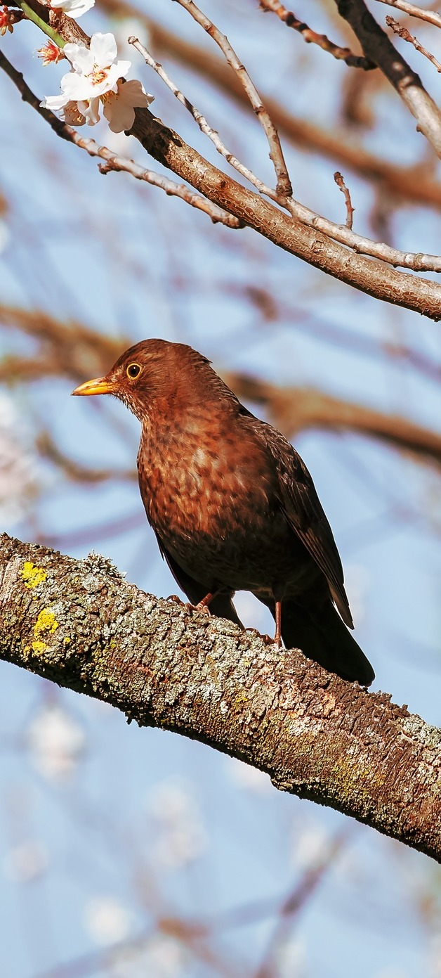 Picture of a brown juvenile black bird.