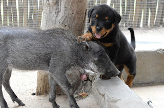 Rottweiler Puppy Warthog Friendship