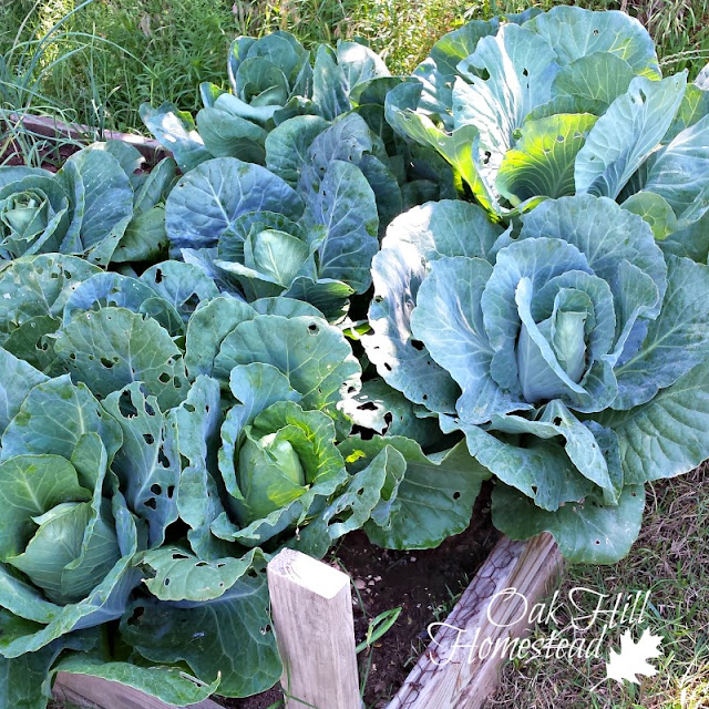 All the tips you need to grow the best cabbage ever, including how to spot and eradicate cabbage worms/cabbage loopers.   #cabbage  #garden  #cabbageworms