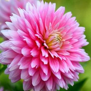 bunga-dahlia-surabaya