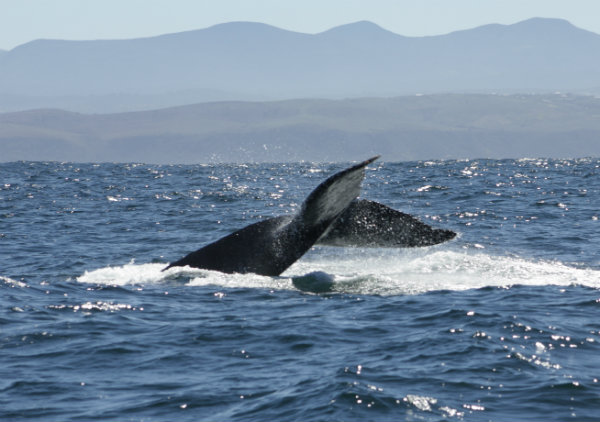 Humpback whales, Knysna. Garden Route, South Africa | Happy in Red