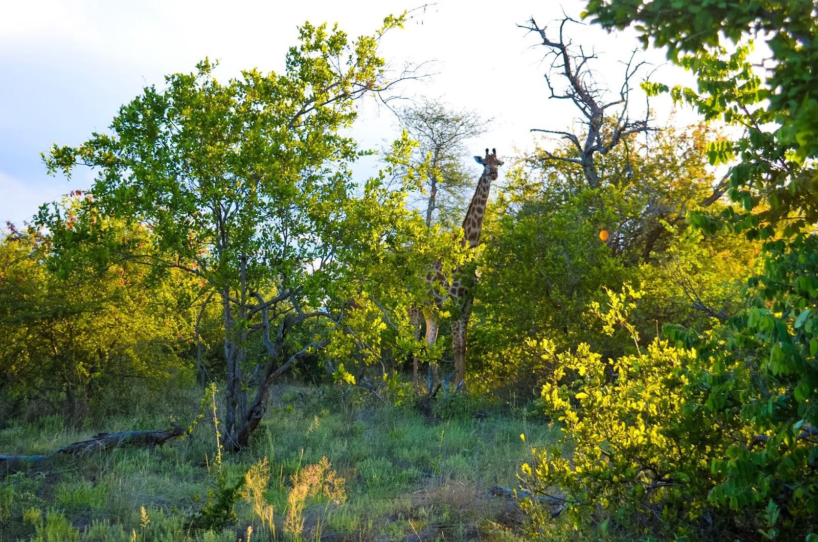 giraffe in greater kruger national park