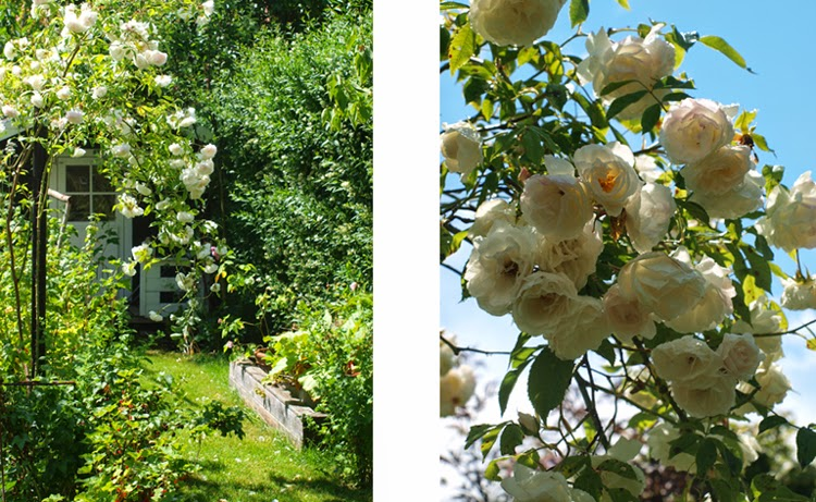 Haven omkring børnens legehus er fyldt med hvide roser som dufter