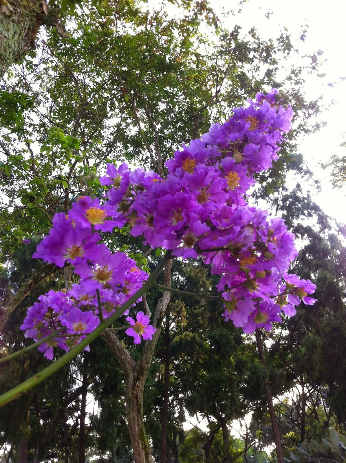 Purple Flowers Tree In Bishan Park