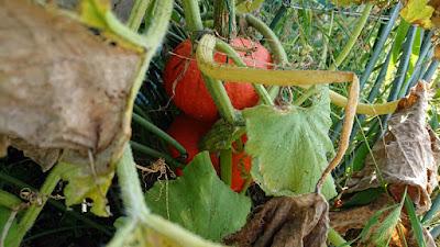 収穫間近の赤皮栗カボチャ