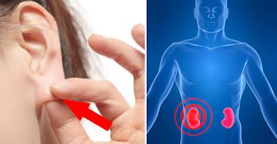 Tự bấm huyệt lỗ tai dưỡng thận không lo bệnh