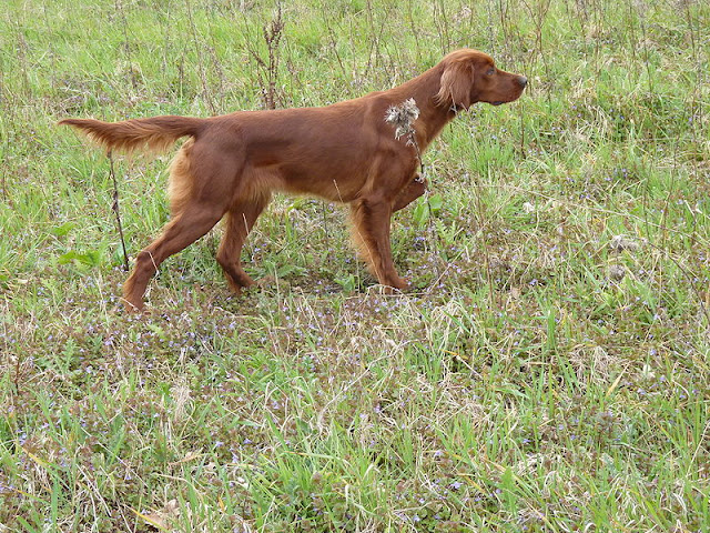 Irish Setter Bird Dog Names