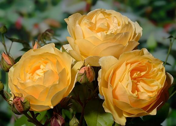 Graham Thomas роза сорт