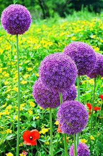 www.banggood.com/25pcs-Allium-Giganteum-Seeds-Purple-Plant-DIY-Home-Garden-p-940528.html?utm_source=sns&utm_medium=redid&utm_campaign=recenzije11&utm_content=chelsea