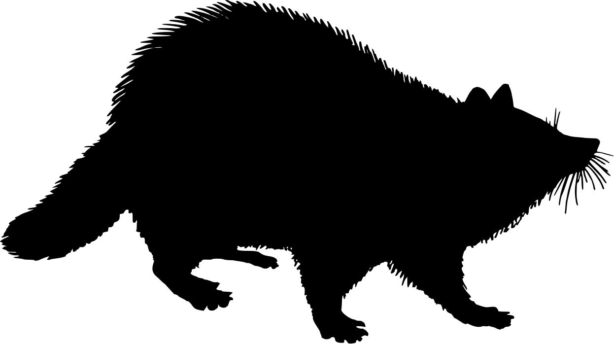 Raccoon Walking On Two Feet Stealing Cats Food
