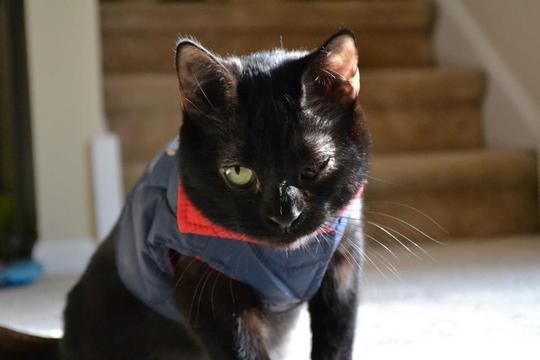 batgirl cat