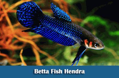 Nama Nama Jenis Ikan Cupang Lengkap Beserta Gambarnya