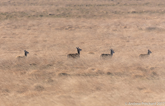 Four hinds are walking in single file through the long yellow moorland grass.