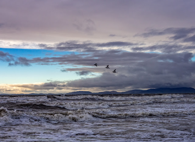 Photo of oystercatchers in flight over the Solway Firth