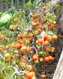 Безрассадные помидоры сорт Толстый Джек