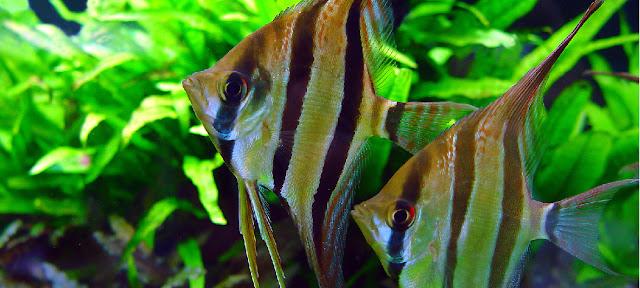 probiotyk dla ryb