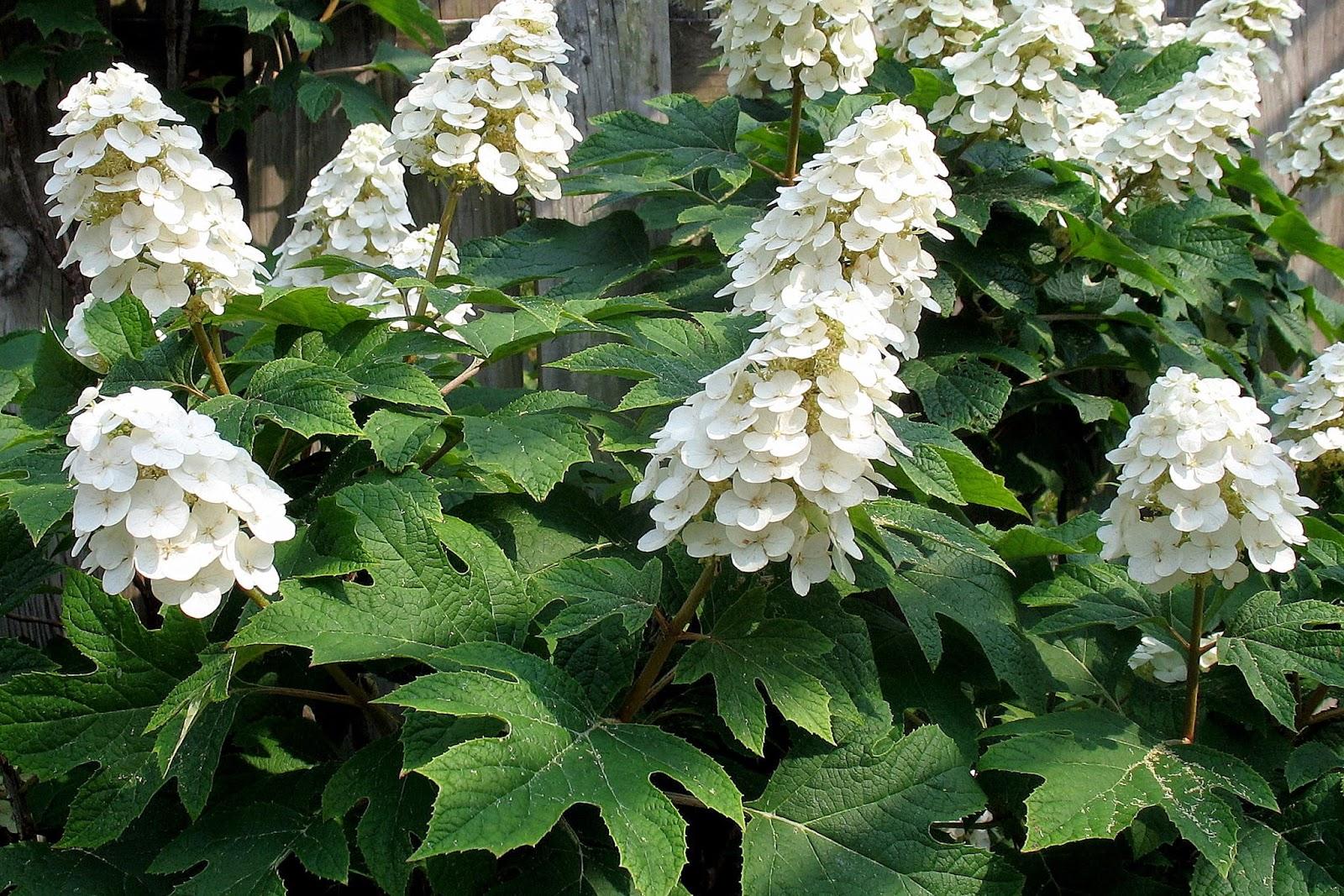 Oakleaf Hydrangea Leaf Spot Cinemas 93