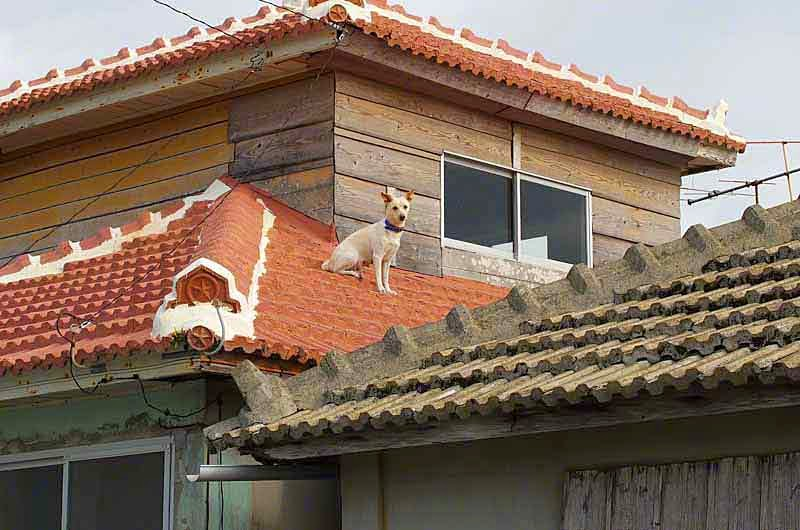 dog on tiled roof