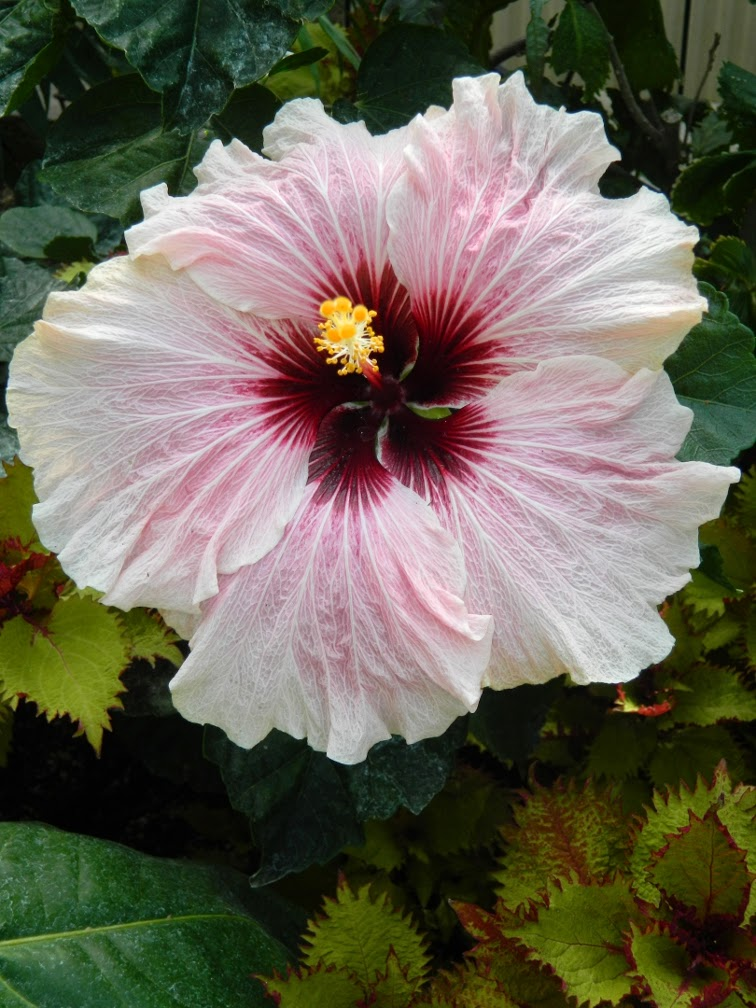 High Voltage tropical hibiscus Allan Gardens Conservatory by garden muses-not another Toronto gardening blog