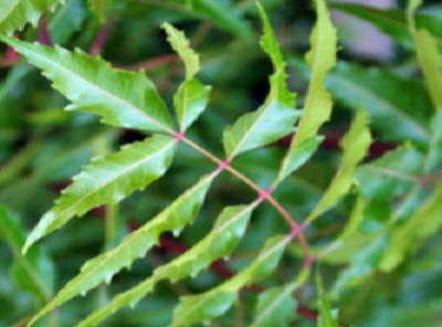Benefits of Neem for hair, skin and health Makes your skin scars free and glowing