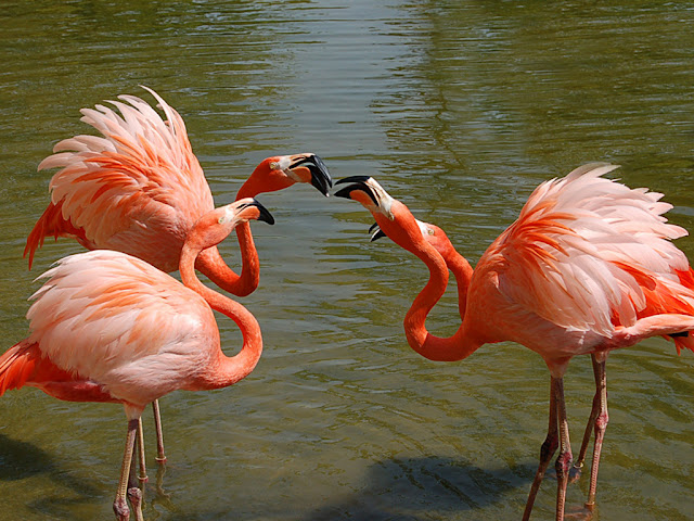 Flamingo facts and information 9