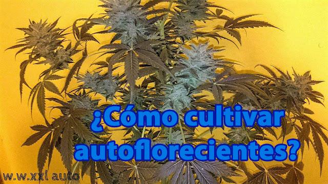 ¿Cómo cultivar marihuana autofloreciente?