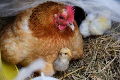 Peluang Bisnis Usaha Ternak Ayam Kampung dengan Analisa Lengkap