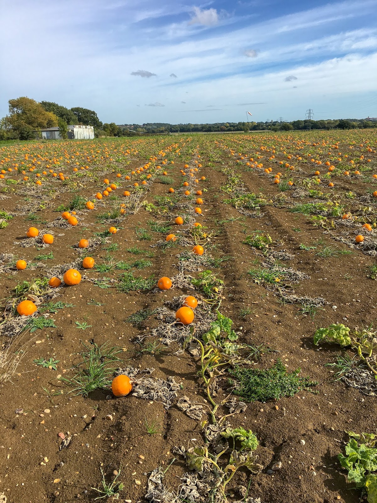 foxes farm produce pumpkin patch london