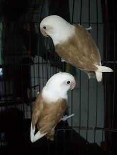 cara beternak lovebird import