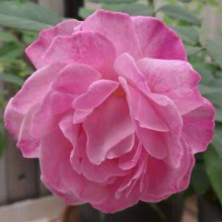 Parentesco com o morango e outras surpresas reveladas pelo mapeamento genético das rosas