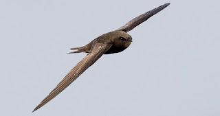 Αυτό το πουλί ανακηρύχθηκε επισήμως το ταχύτερο στη Γη
