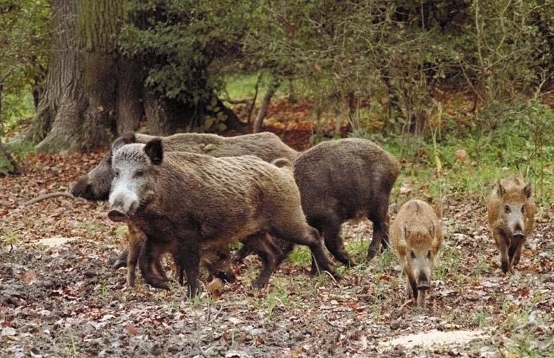 Η πανώλη των χοίρων εξαπλώνεται ραγδαία και προσβάλει τους αγριόχοιρους.  Σχετική ενημέρωση απο την Περιφέρεια