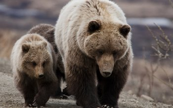 Wallpaper: Grizzly Bears