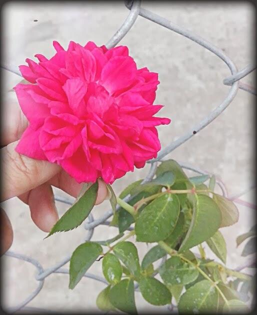 Nhờ được chăm sóc đúng cách, một cành của Vườn lên từ 3 đến 5 nụ hồng