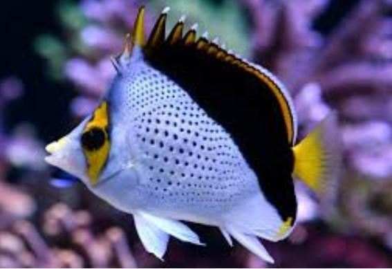 প্রজাপতি মাছ অবিকল প্রজাপতির মত উড়ে।