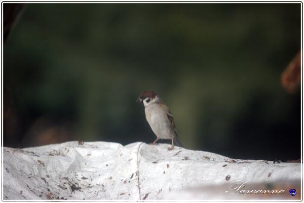 ptaki zimą, krogulec, jastrząb, kaczki krzyżówki,sikorki, mazurki, wróble