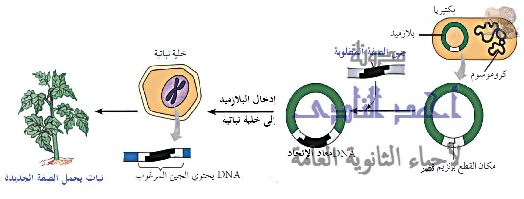 أحياء الثانوية  العامة - تقنيات التكنولوجيا الجزيئية ( الهندسة الوراثية ) - تقنية DNA  معاد الإتحاد  - الزراعة – الخلية النباتية