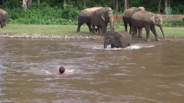 Un éléphanteau sauve un garde de la noyade