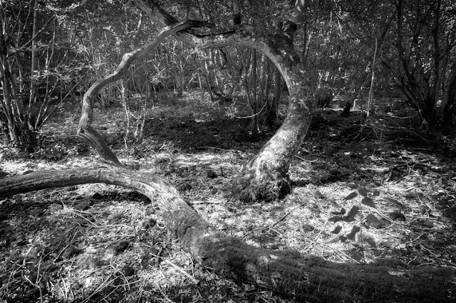 Black and white image of entwined trees at the Wildlife Trust Hayley Wood Nature Reserve
