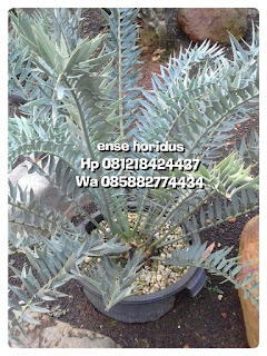 Jual pohon purba, tanaman langka ense varigata