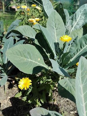 Orto biologico: consociazione con fiori