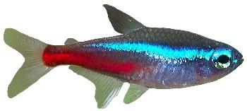Peixe Neon-Verdadeiro (Paracheirodon innesi)