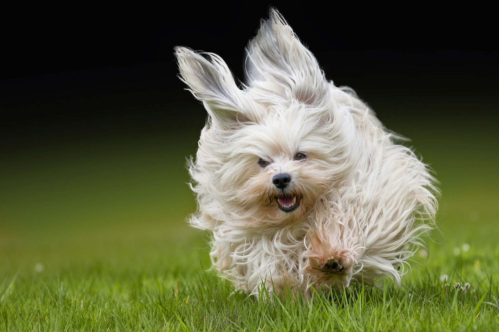 A Happy Havanese: Havanese 101